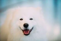 Lyckligt vitt slut för Samoyedhundvalp upp ståenden Royaltyfri Foto