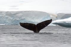 Lyckträff för svans för puckelryggval i Antarktis arkivfoton