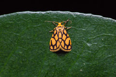 Lyclene conjunctana moth on green leaf Royalty Free Stock Photography