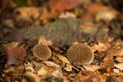 Lycoperdon μη φαγώσιμος μύκητας echinatum στοκ εικόνα