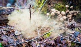 Lycoperdon del fungo fotografia stock