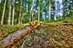 Lycoperdon mushrooms. Some Lycoperdon mushrooms on a root of a tree Stock Photography
