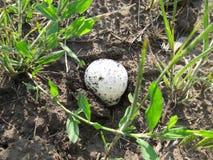 Lycoperdon O close-up do casaco do cogumelo na floresta cresce na terra na mola fotos de stock royalty free