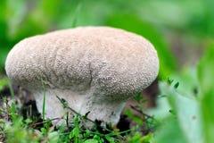 Lycoperdon Perlatum μανιταριών Στοκ Εικόνες