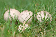 Lycoperdon perlatum Στοκ εικόνα με δικαίωμα ελεύθερης χρήσης