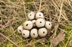 Lycoperdon perlatum Στοκ Εικόνα