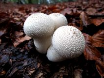 Lycoperdon Perlatum do cogumelo Imagem de Stock Royalty Free