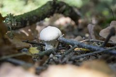 Lycoperdon perlatum, growing mushroom, young fungi in forest. Not edible Stock Image