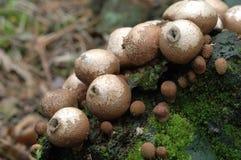 Lycoperdon pyriforme fungi Stock Photo