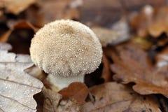 lycoperdonperlatum Arkivfoto