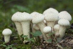 Lycoperdonperlatum Royaltyfri Foto