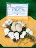 Lycoperdonperlatum på den mycological utställningen av champinjoner i Mantua Royaltyfria Foton