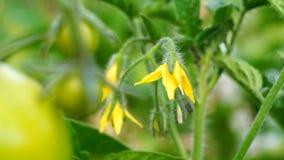 Lycopersicum do Solanum vídeos de arquivo