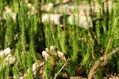 Lycopodiophyta, lycophyta, lycopods, botany, ground pines. In forest in sunny autumn day royalty free stock image