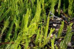 Lycopodium in primavera Immagine Stock