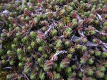 Lycopodium, végétation de mousse de club et feuilles sèches de saule Photo stock