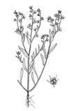 Lycopsis arvensis植物的手拉的图片 免版税库存图片