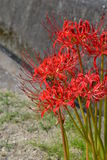 Lycoris Stockbild