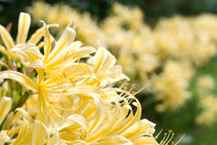 Lycoris rubroaurantiaca Stock Photography