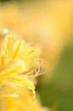 Lycoris rubroaurantiaca.(Ohsumi) Royalty Free Stock Image