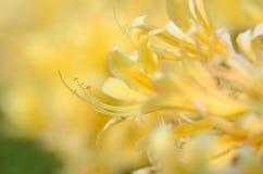 lycorisohsumirubroaurantiaca Royaltyfria Bilder