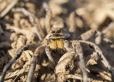 Lycosa sp. - Wolf Spider Royalty Free Stock Photography