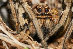 Lycosa tarantula detail Royalty Free Stock Images
