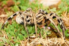 Lycosa tarantula Stock Images