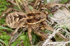 Lycosa tarantula Stock Image