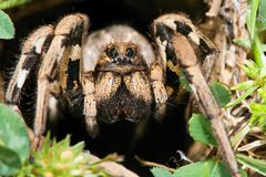 Lycosa tarantula. Spider lurks in the country,is fast hunter Royalty Free Stock Photo