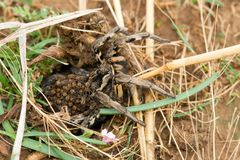Lycosa tarantula with the young Stock Image