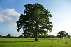 Lydiard公园结构树 库存照片