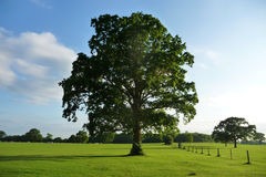 Lydiard Park Trees. Tree in a landscape in Lydiard park Stock Photo