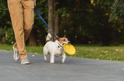 Lydig hund bredvid ägaren som går på den hållande leksaken för koppel i mun Royaltyfria Foton