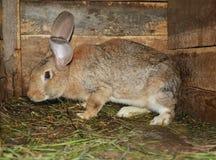 Lyfta & föda upp kaniner på lantgården i träburen arkivfoto