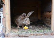 Lyfta och föda upp kaniner för kött Matande kaniner med havre på kaninlantgård Royaltyfria Foton