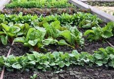 Lyftt säng för grönsakträdgård med att bevattna systemet Fotografering för Bildbyråer