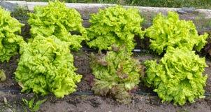 Lyftta sängar av homegrown organiska grönsallatväxter fotografering för bildbyråer
