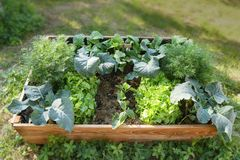 Lyftt säng med organiska grönsakväxter i trädgården, gardenin arkivbilder