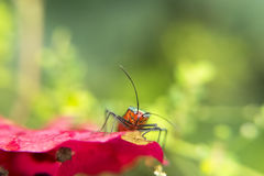 Lygaeidae bug on a pink flower petal stock images