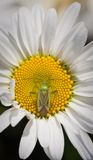 Lygus adspersus and daisy flower Royalty Free Stock Photos