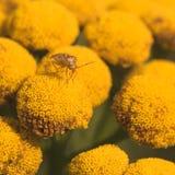 Lygus Bug on Tansy Flower. Stock Photos