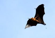 Lyie flyingfox Zdjęcie Royalty Free