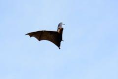 Lyie flyingfox Fotografia Stock