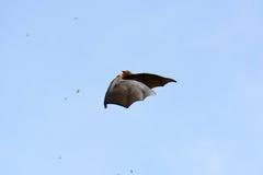 Lyie flyingfox Obraz Stock