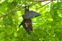Lyie's flying fox Stock Photo