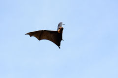 Lyie's flyingfox Stock Photography