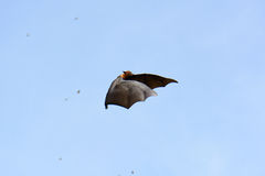 Lyie's flyingfox Stock Image