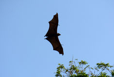 Lyie's flyingfox Stock Photography