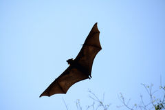 Lyie's flyingfox Royalty Free Stock Image